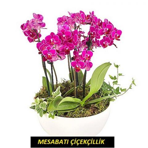 6 Köklü Mini Mor Orkide