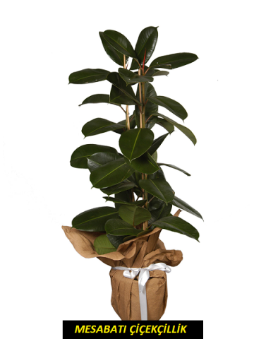 Kauçuk ( Ficus )