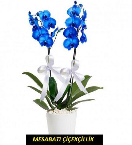 2 Köklü Mavi Orkide